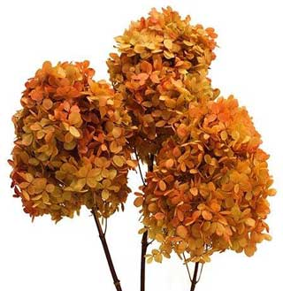 Pg Hydrangea Mango Bi Color***sold Out 'til Further Notice***