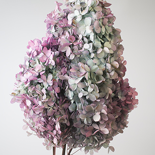 Pg Hydrangea Blue Bi Color ***sold Out 'til Autumn 2019***