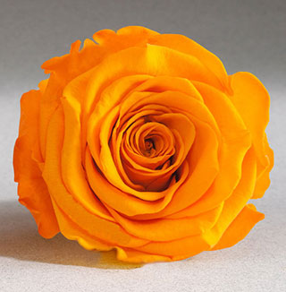 Ef Mini Roses Golden Yellow