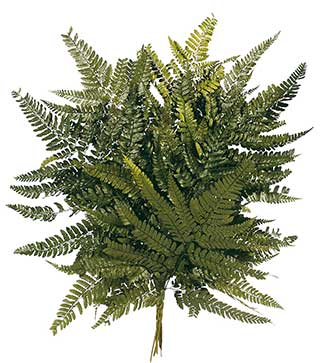 Spanish Fern Preserved