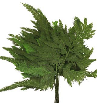 Colombian Fern Preserved