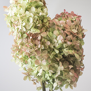 Pg Hydrangea Green Bi Color***sold Out 'til Further Notice***