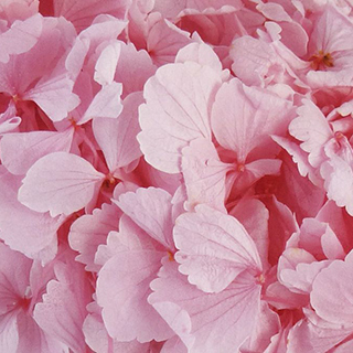 Perfection Hydrangea Lt. Pink ***sold Out 'til Further Notice***