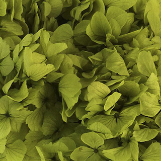 Perfection Hydrangea Green***sold Out 'til Further Notice Use 51045 Supersoft Basil***