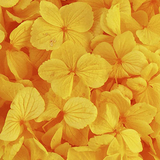 Perfection Hydrangea Golden Yellow ***sold Out 'til Further Notice***