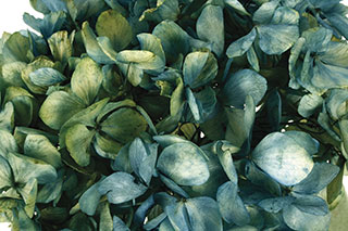 Hydrangea Supersoft Blue Bi Color