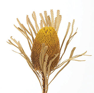 Banksia Yellow