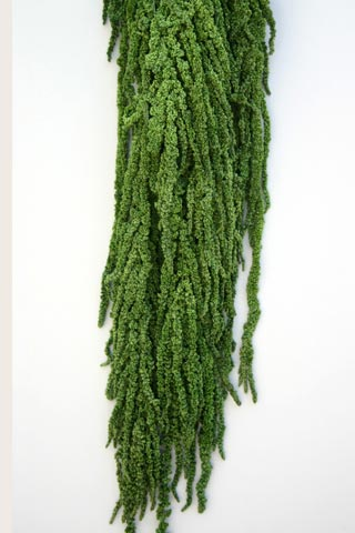 Hanging Amaranthus Green***out Of Stock***