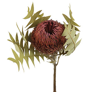 Banksia Baxteri Pink ***sold Out 'til Further Notice***