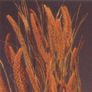 CHINESE MILLET ASPEN GOLD