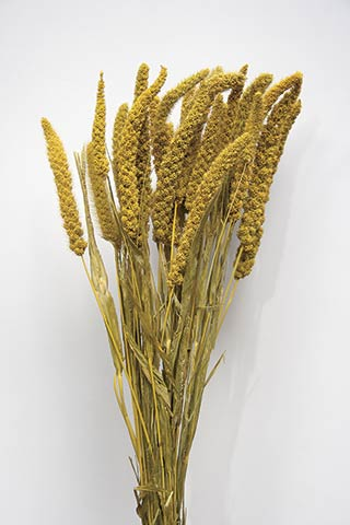 Chinese Millet Golden Yellow