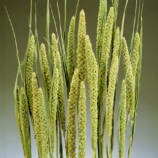 Chinese Millet Spring Green