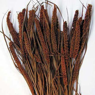 Chinese Millet Burnt Oak