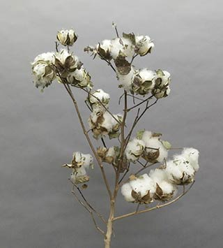 COTTON  STALKS