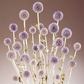ECHINOPS LONG STEM BLUE