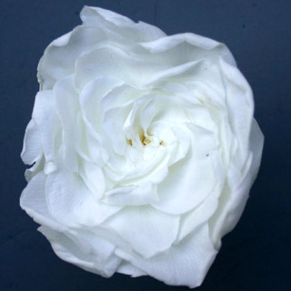 Gardenias White Preserved
