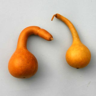 Dipper Gourds Aspen Gold***sold Out 'til Further Notice***