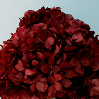 Hydrangea Supersoft Burgundy