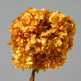 Hydrangea  Supersoft Aspen Gold