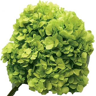 Hydrangea Supersoft Spring Green