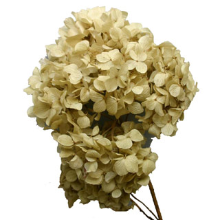 Hydrangea  Supersoft Natural
