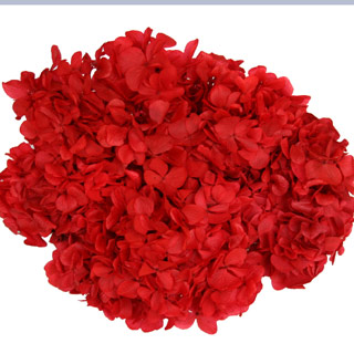 Hydrangea  Supersoft Red