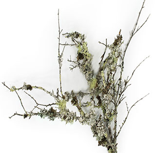Curly Lichen Branches