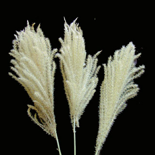 Mountain Plume Grass