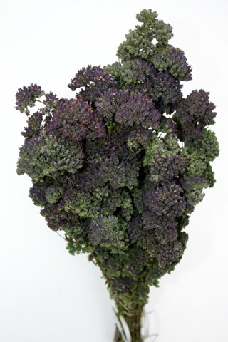 OREGANO PURPLE***SOLD OUT 'TIL FURTHER NOTICE***
