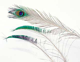 PEACOCK FEATHERS W/ EYE