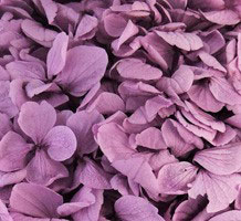 Perfection Hydrangea Violet***sold Out 'til Further Notice***