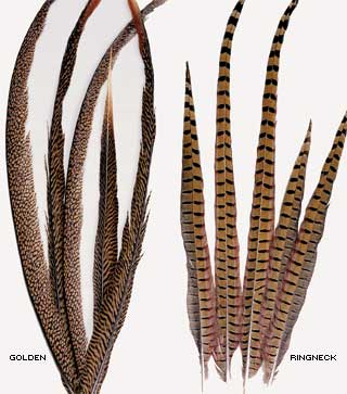 RINGNECK PHEASANT FEATHERS 18-20