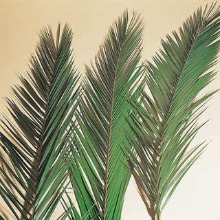 PHOENIX DATE PALM 24-30 ***SOLD OUT 'TIL FURTHER NOTICE***
