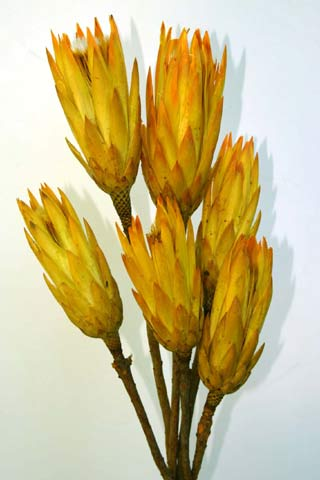 PROTEA YELLOW