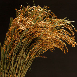 Ornamental Rice