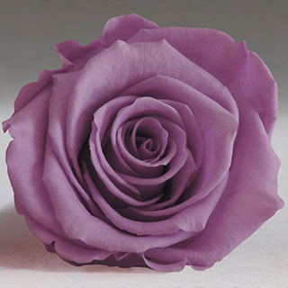 Ef Mini Roses Lavender ***sold Out 'til Further Notice***