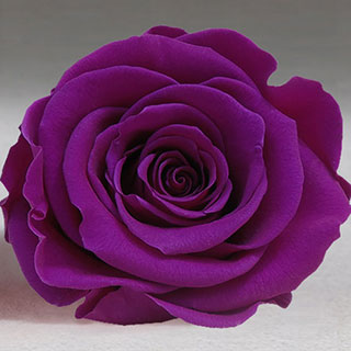 Ef Mini Roses Medium Purple ***sold Out 'til Further Notice***