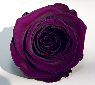 "Rosehds Ef 4"" Purple Pur 01  ***sold Out 'til Further Notice***"