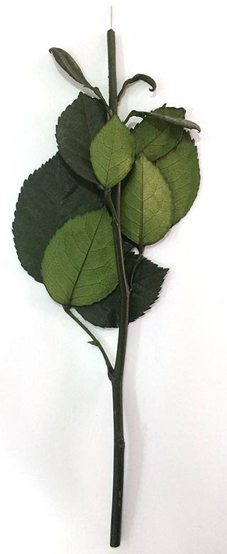 "Rose Stems 12"" Preserved"