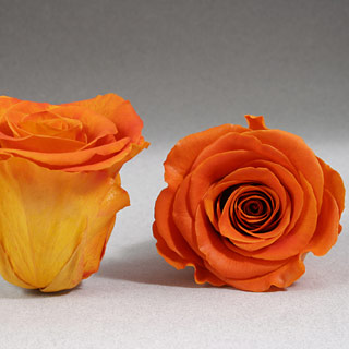 Ef Mini Roses Sunset ***sold Out 'til Further Notice***