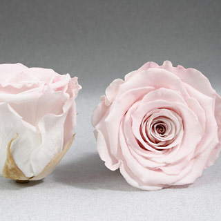 Ef Mini Roses Pale Pink