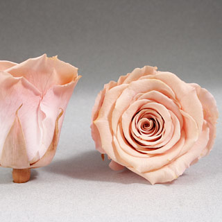 Ef Mini Roses Peach