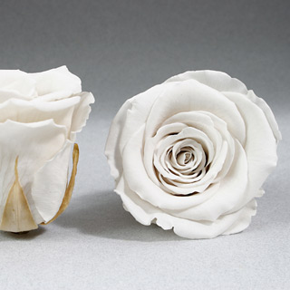 Ef Mini Roses White