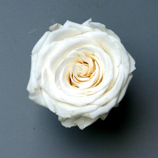 Ef Mini Roses Paper White