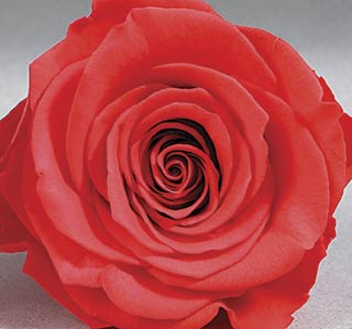 "Rosehds Ef 4"" Coral Ora 03 ***sold Out 'til Further Notice***"