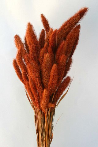 Setaria Burnt Oak