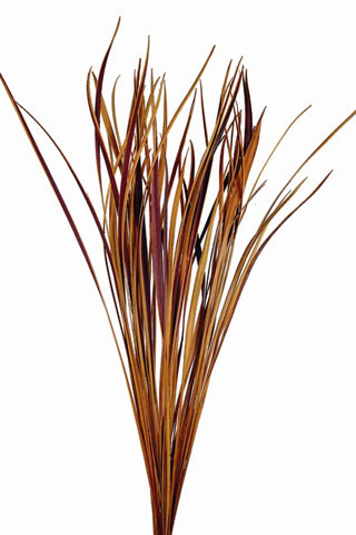 Splinter Grass Aspen Gold