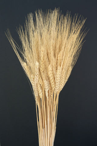 WHEAT NATURAL (GOLDEN)