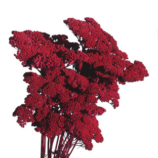 Yarrow Burgundy