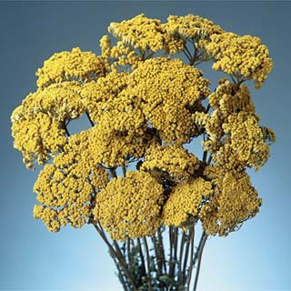 YARROW YELLOW NATURAL